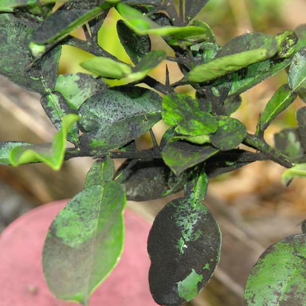 Слива подвержена таким заболеваниям, как серая и плодовая гниль, сажистый грибок, монилиоз, камедетечение и млечный блеск