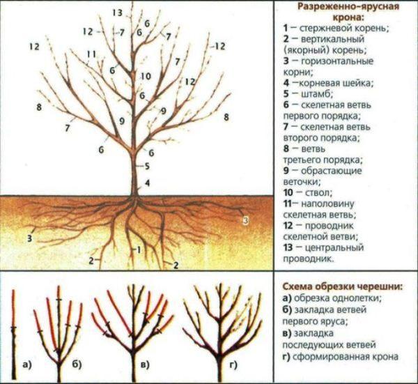Схема обрезки черешни Валерий Чкалов