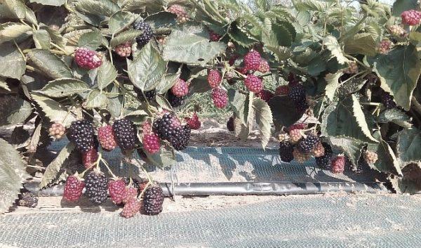 Кусты со спелыми ягодами ежевики Натчез