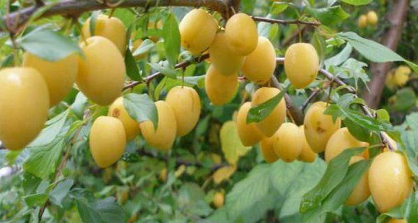 Слива Яичная жёлтая