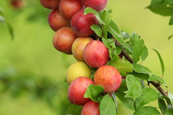 Плодоношение сливы во многом зависит от сорта и правильной посадки дерева