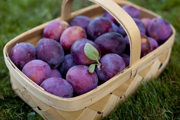 Сроки созревания сливы зависят от сорта и региона выращивания