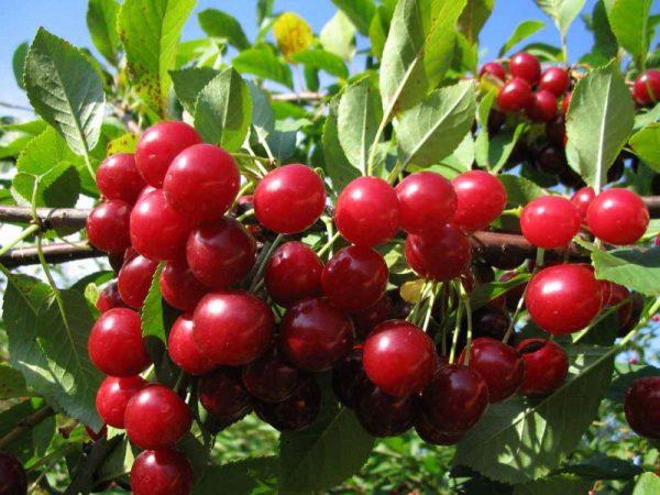 Урожай вишни сорта Любская