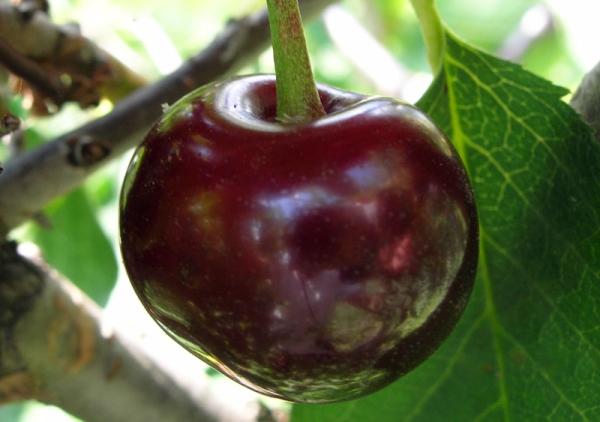 Сорт вишни Владимирская: описание дерева, посадка и уход, защита от болезней и вредителей