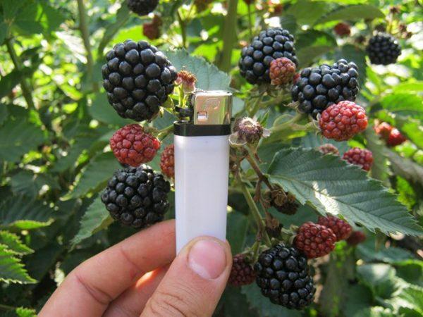 Размеры ягод ежевика Агавам