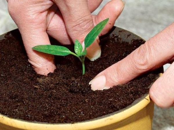 Для правильного развития сеянца в домашних условиях необходимо поддерживать оптимальные условия освещенности, полива, подкормки