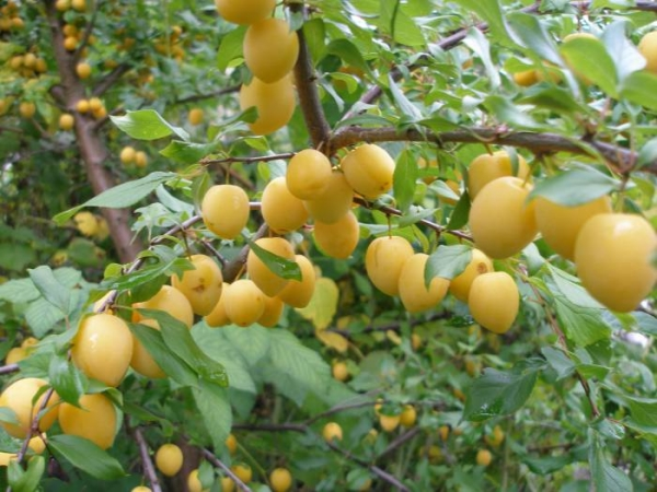 Слива сорта Утро самоплодная, плоды крупных размеров, морозоустойчивость средняя