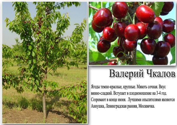 Характеристика черешни Валерий Чкалов