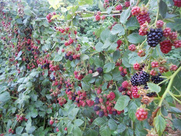 Куст с ягодами Блэк Сатин