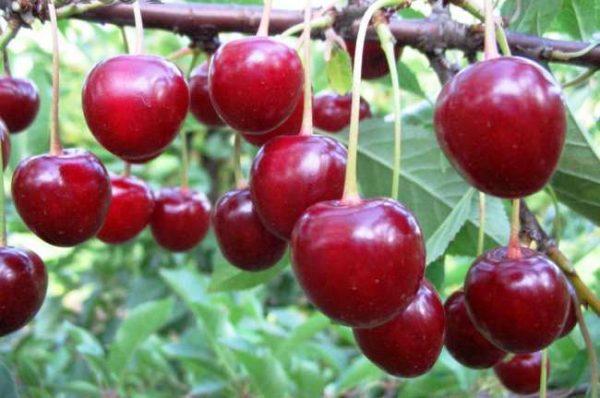 Плоды вишни Тургеневка