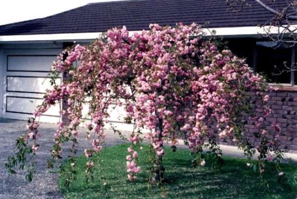 Сакура кику шидаре наиболее подходит для для степных и лесостепных зон с умеренно-континентальными климатическими условиями