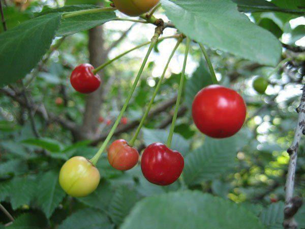 Недозрелая степная вишня