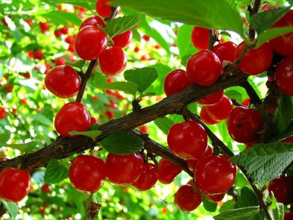 Варианты размножения вишни