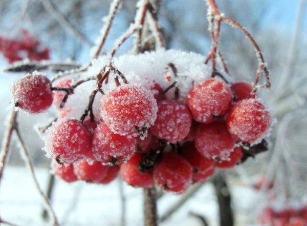 Оставленные на зиму не собранные ягоды рябины