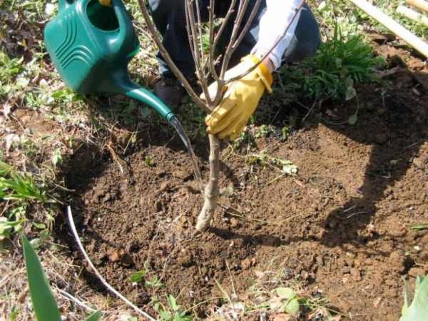 Этапы и преимущества посадки вишни осенью, выбор саженца и места