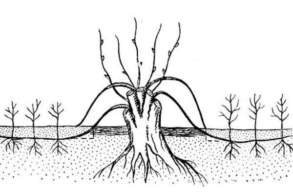 Схема размножения обыкновенной рябины горизонтальными отводками