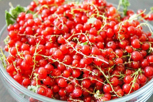 Собранные грозди спелых ягод смородины Сахарная
