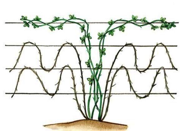 Схема формирования куста ежевики волнами