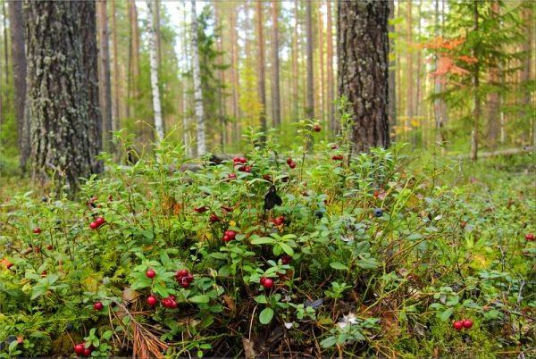Лесные ягоды - экологически чистый продукт