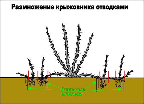 Схема размножения крыжовника отводками