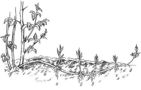 Схема размножения ежевики горизонтальными отводками