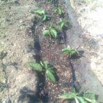Размножение ежевики отсаживанием корневых отростков