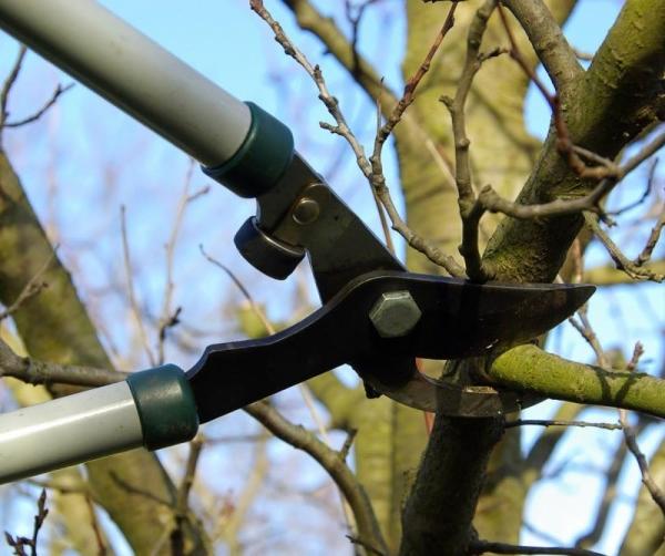 Весенняя обрезка старого дерева вишни даст возможность улучшить урожайность