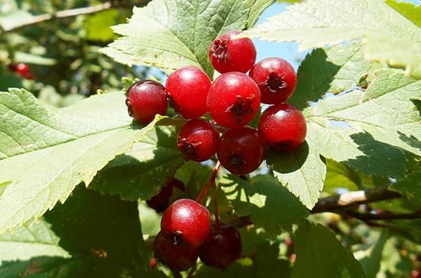 Боярышник кроваво-красный: описание растения, применение в лечебных целях