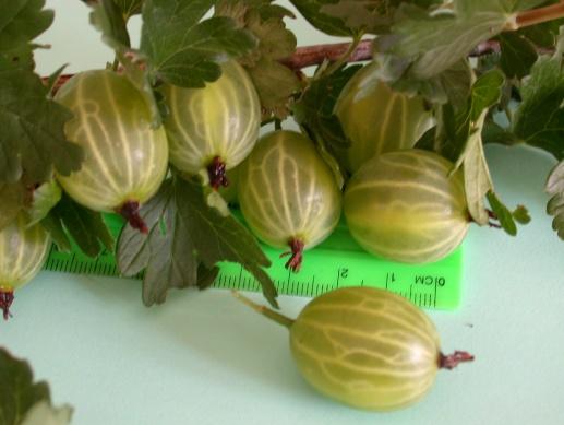 Размеры ягод крыжовника