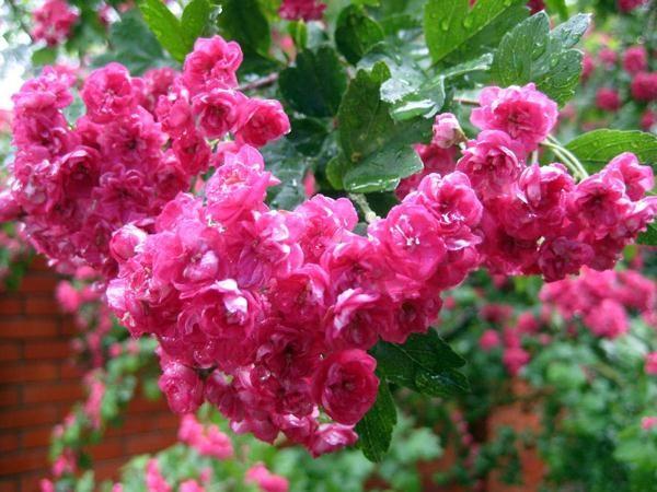 Цветки боярышника Пауль Скарлет