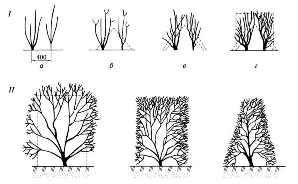 Схема формирования живой изгороди