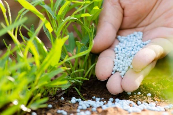 Смородина сорта Селеченская нуждается в подкормках мочевиной и золой, поливах и рыхлении почвы