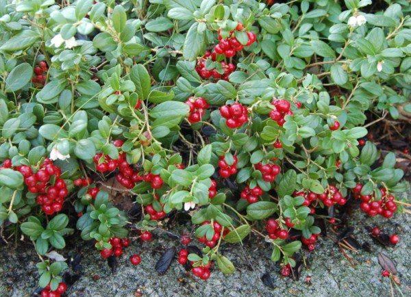 Куст брусники с ягодами