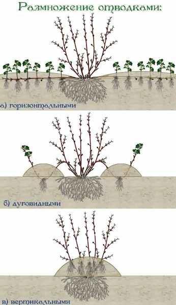 Схема размножения боярышника отводками