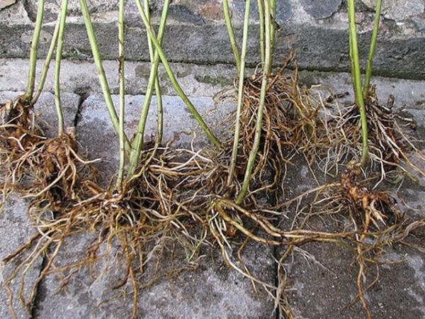 Облепиху можно размножить делением куста; предпочтительнее делать это ранней весной или поздней осенью, до морозов