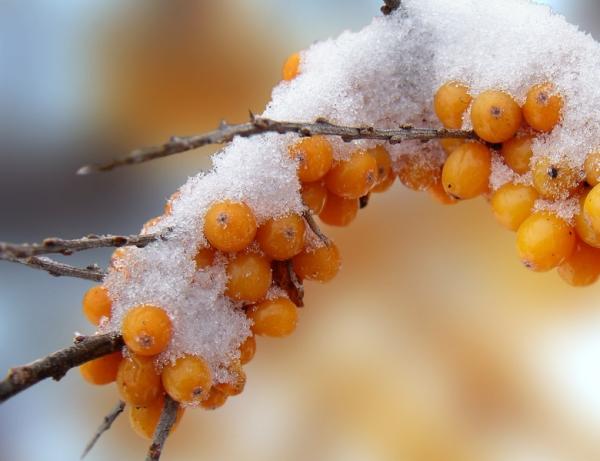 Можно перенести сбор урожая облепихи на зиму: замерзшие ягоды не повреждаются при сборе