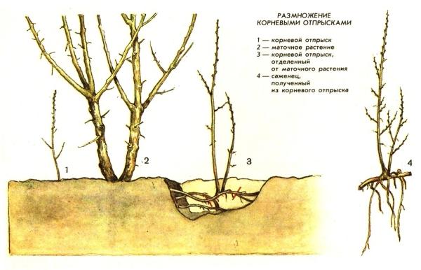 Если требуется быстро размножить куст облепихи, примите во внимание метод размножения порослью