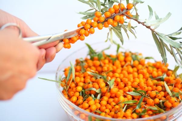 Облепиху можно сохранить методом замораживания, сушки, консервации, помещения плодов в воду или в сахар