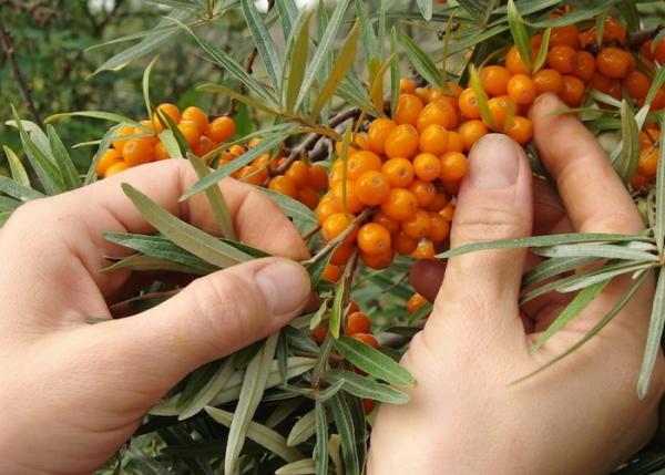 Как и когда собирать урожай облепихи, какие способы и приспособления применять