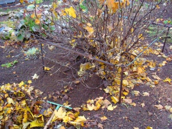 Смородину подготавливают к зиме: очищают приствольный круг от растительных остатков, ветви собирают к центру и подвязывают шпагатом