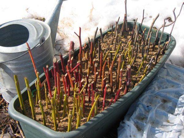 Подготовка черенков крыжовника для размножения