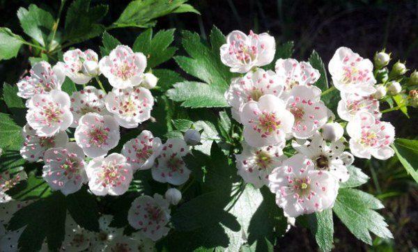 Цветки боярышника полезны при лечении сердечных заболеваний