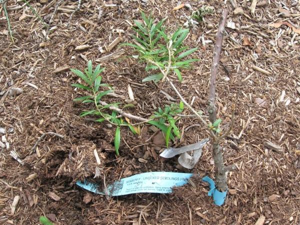 Облепиху лучше всего сажать весной, тогда у растения будет время окрепнуть до наступления холодов