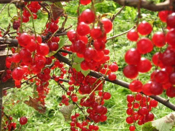 Красная смородина сорт Алая зорька