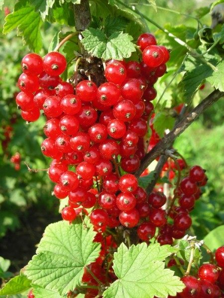 Красная смородина сорт Асора