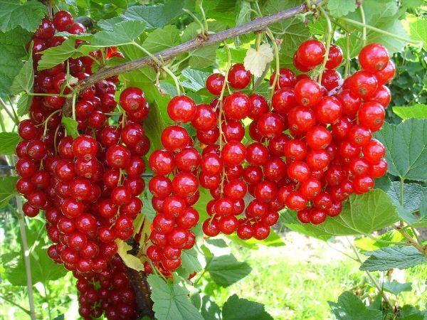 Красная смородина сорт Натали