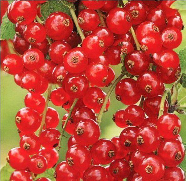Красная смородина сорт Ранняя сладкая