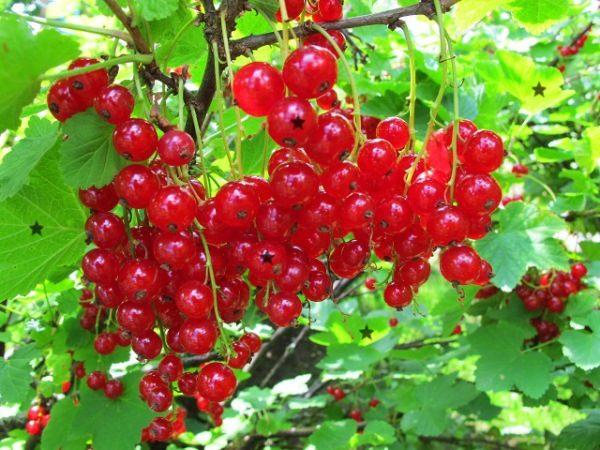 Красная смородина сорт Ролан
