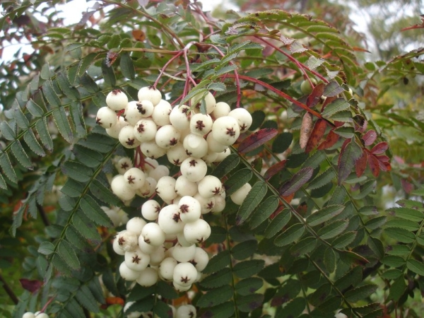 Декоративные белоплодные рябины сортов Кене или Белый лебедь (White Swan) в пищу не пригодны