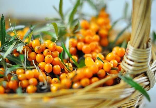 Собранные ягоды облепихи
